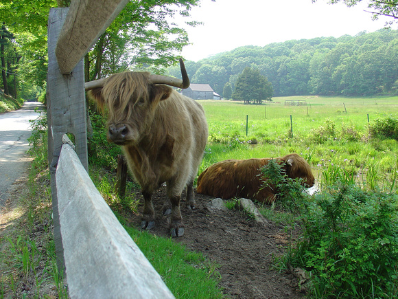 Scotish Highland Cattle in Connecticut
